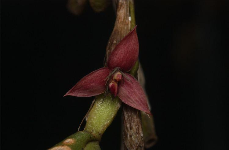Bulbophyllum sagemuelleri