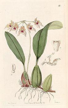 Bulbophyllum umbellatum httpsuploadwikimediaorgwikipediacommonsthu