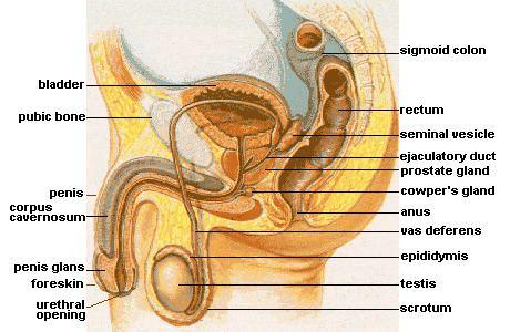 Bulbourethral gland