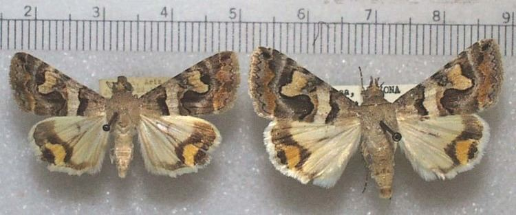 Bulia nitrobiosciarizonaeduzeebbutterfliesfigsmot