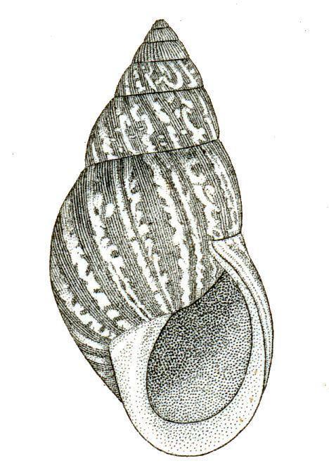 Bulimulus dealbatus