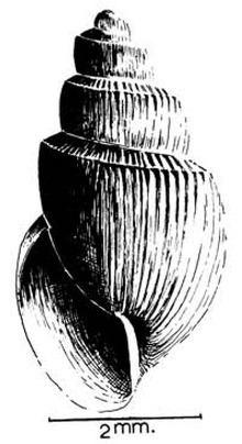 Bulinus forskalii httpsuploadwikimediaorgwikipediacommonsthu