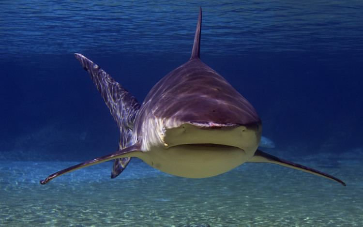 Bull shark Bull Shark Shark Facts and Information
