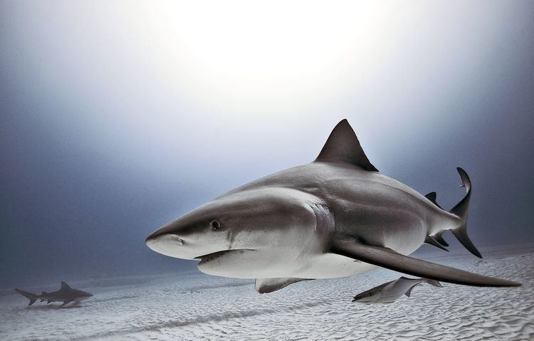 Bull shark Bull Sharks Bull Shark Pictures Bull Shark Facts National