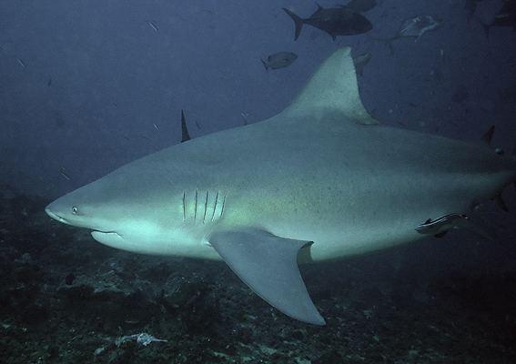 Bull shark Bull shark Wikipedia