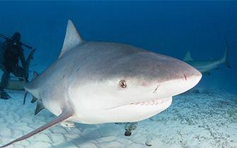 Bull shark - Alchetron, The Free Social Encyclopedia