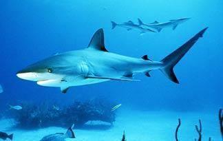 Bull shark Bull Shark River Monsters Animal Planet