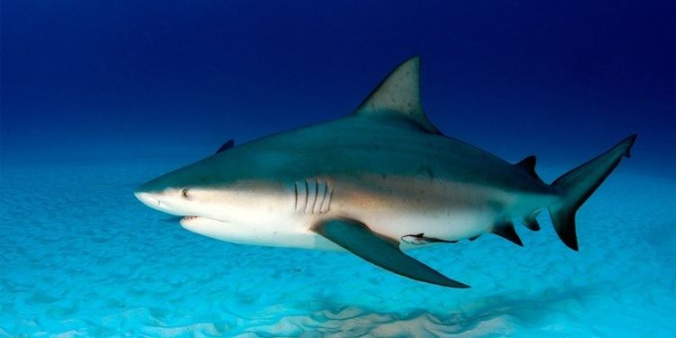 Bull shark cdnthinglinkmeapiimage6910107552306954251024