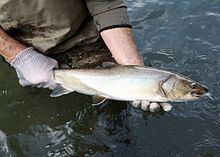 Bull trout httpsuploadwikimediaorgwikipediacommonsthu