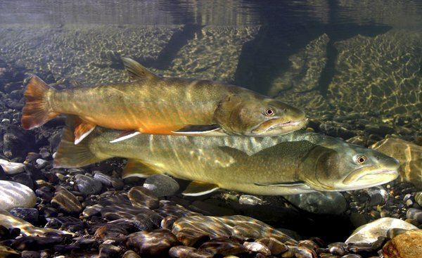 Bull trout Bull Trout Western Arctic populations