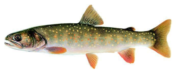 Bull trout Kootenai River Bull Trout