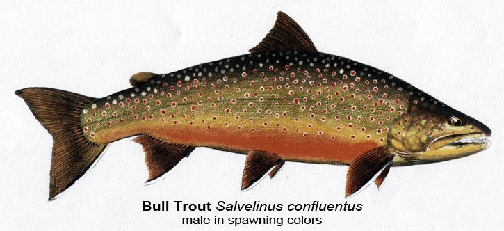Bull trout Fish of the Month