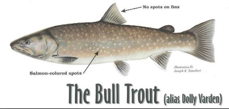 Bull trout Bull Trout Facts and Info Troutstercom