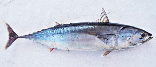Bullet tuna FROZEN WHOLE ROUND BULLET TUNA productsVietnam FROZEN WHOLE ROUND