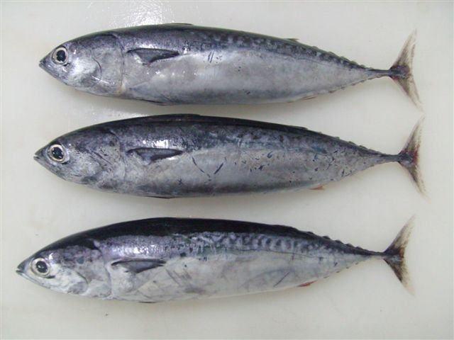 Bullet tuna bullet tuna suppliersexporters on 21foodcom