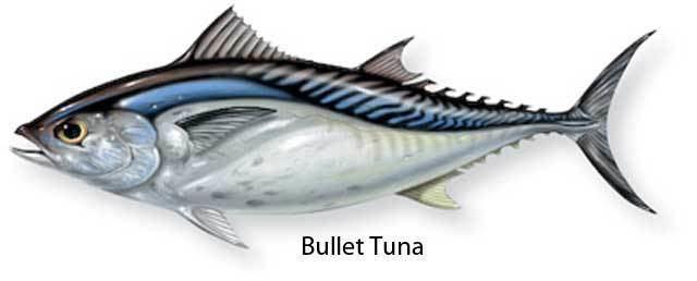 Bullet tuna Bullet Tuna