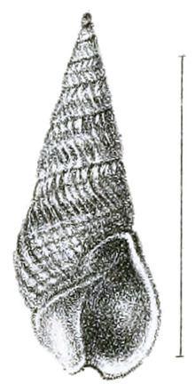 Bullia mozambicensis httpsuploadwikimediaorgwikipediacommonsthu