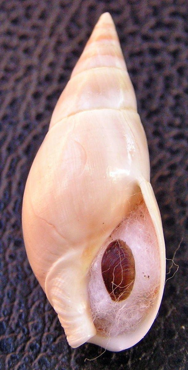 Bullia rhodostoma