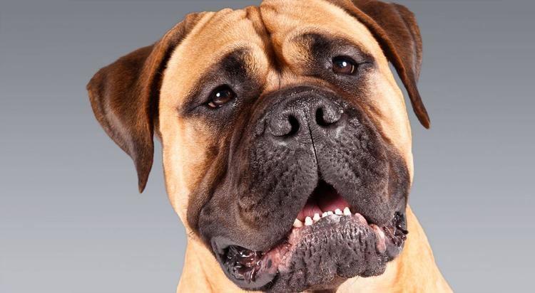Bullmastiff Bullmastiff Dog Breed Information American Kennel Club