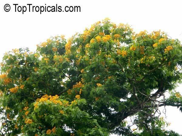 Bulnesia Bulnesia arborea Vera Verawood Vera Wood Maracaibo Lignum Vitae