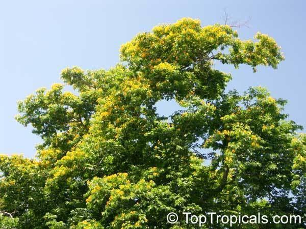 Bulnesia arborea Bulnesia arborea Vera Verawood Vera Wood Maracaibo Lignum Vitae
