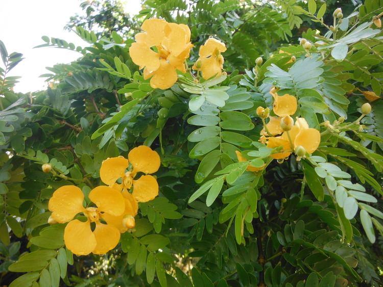 Bulnesia arborea Verawood Bulnesia arborea Richard Lyons Nursery Inc