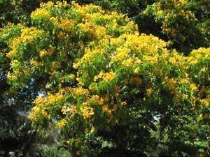 Bulnesia arborea bulnesiaarboreajpg