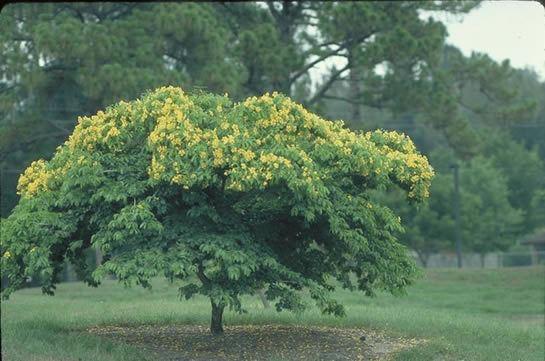 Bulnesia Bulnesia Tree selection Landscape plants Edward F Gilman UF