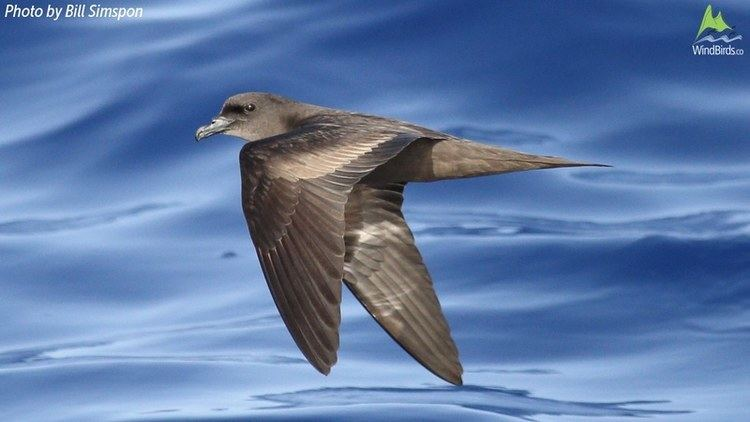 Bulwer's petrel Bulwer39s Petrel Bulweria bulwerii in Madeira Portugal