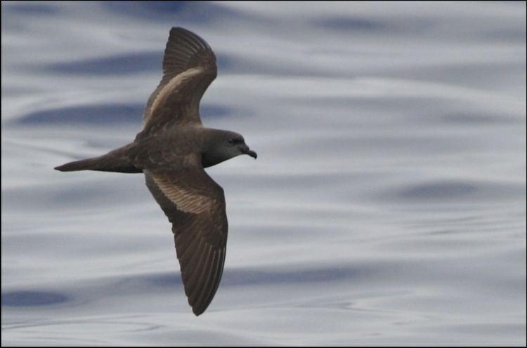Bulwer's petrel MadeiraWind Birds Zino39s Petrel Expedition