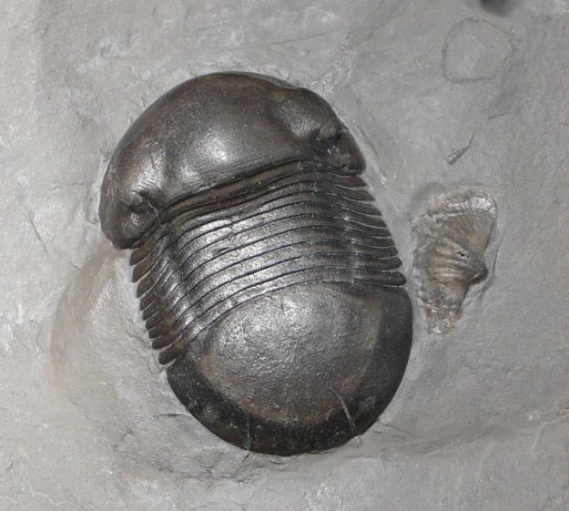Bumastus Gallery of Rochester Shale Trilobites