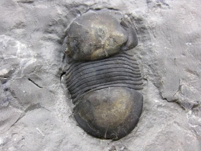 Bumastus Bumastus Trilobite 2 Indiana9 Fossils