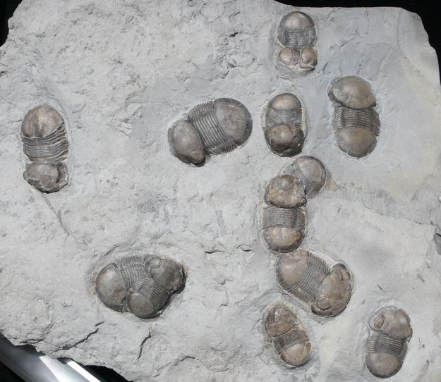Bumastus 8 Bumastus ioxus 2 Division of Paleontology