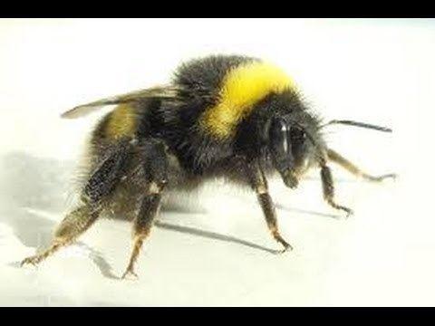 Bumblebee httpsiytimgcomviloNcqXuzighqdefaultjpg