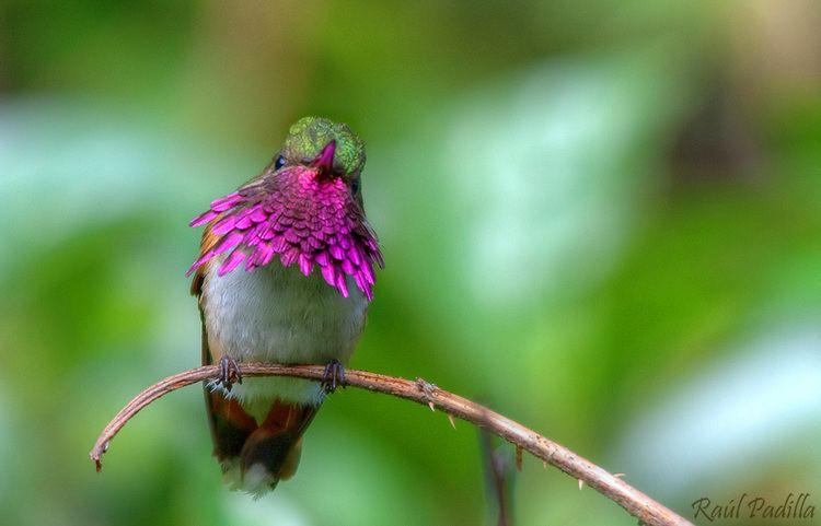 Bumblebee hummingbird Bumblebee Hummingbird