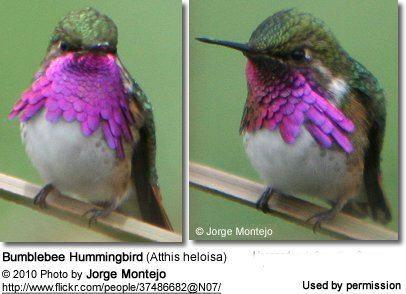 Bumblebee hummingbird Bumblebee Hummingbirds Atthis heloisa