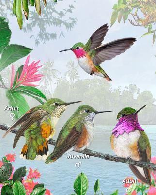 Bumblebee hummingbird Bumblebee Hummingbird Whatbirdcom
