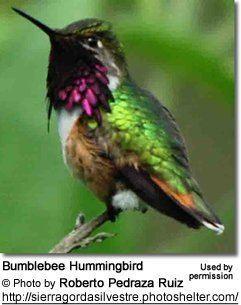 Bumblebee hummingbird httpswwwbeautyofbirdscomsitesdefaultfiles