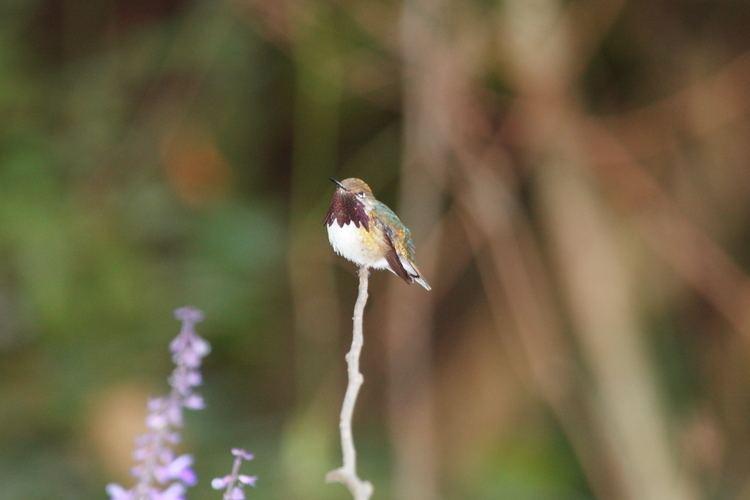 Bumblebee hummingbird FileBumblebee Hummingbird Atthis heloisa 3324463382jpg
