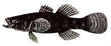 Bunaka gyrinoides httpsuploadwikimediaorgwikipediacommonsthu