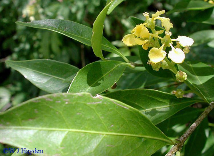 Bunchosia bunchosia swartziana