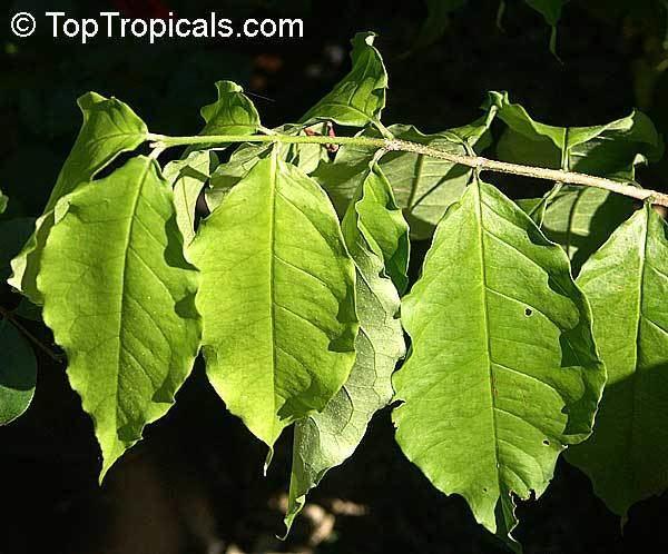 Bunchosia argentea Bunchosia argenta Peanut Butter Tree TopTropicalscom