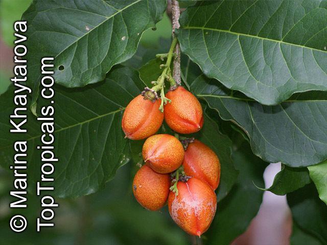 Bunchosia armeniaca Bunchosia armeniaca Peanut Butter Fruit Monk39s Plum Marmela