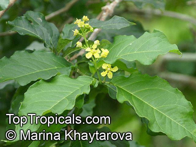 Bunchosia Bunchosia armeniaca Peanut Butter Fruit Monk39s Plum Marmela