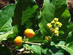 Bunchosia Bunchosia argentea Wikipedia la enciclopedia libre