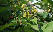 Bunchosia httpsuploadwikimediaorgwikipediacommonsthu
