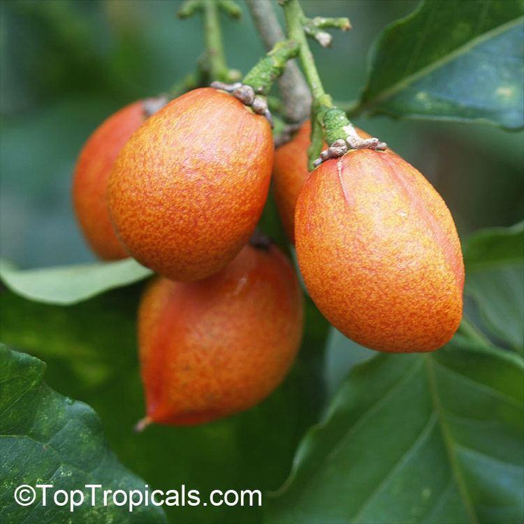 Bunchosia Tropical plant catalog TopTropicalscom