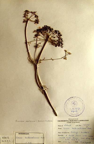Bunium persicum Bunium persicum