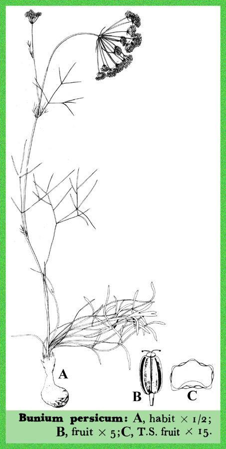 Bunium persicum Bunium persicum Useful Tropical Plants