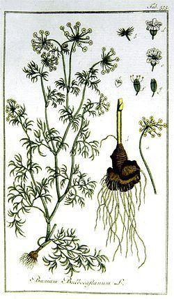 Bunium persicum httpsuploadwikimediaorgwikipediacommonsthu